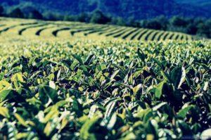 чай в абхазии есть ли перспективы развития отрасли