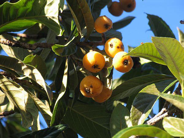фрукты мушмула